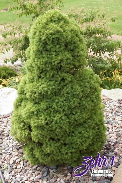 The gallery for dwarf evergreen trees for Best dwarf trees for landscaping