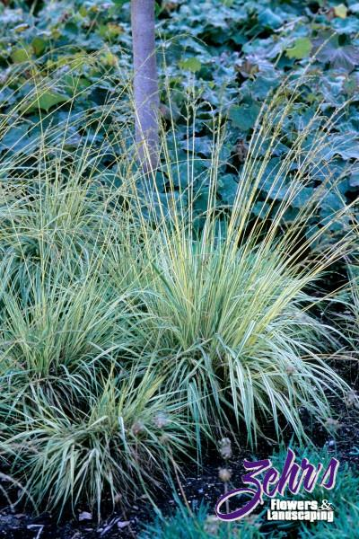 Variegated moor grass zehrs flowers and landscaping for Variegated grass plant