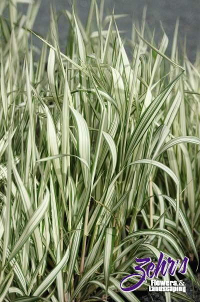 Ribbon grass zehrs flowers and landscaping for Variegated grass plant