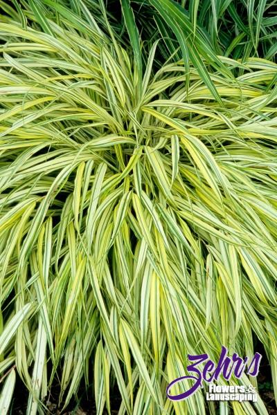Gold variegated hakone grass zehrs flowers and landscaping for Yellow ornamental grass