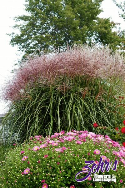 Little zebra grass zehrs flowers and landscaping for Landscaping with zebra grass