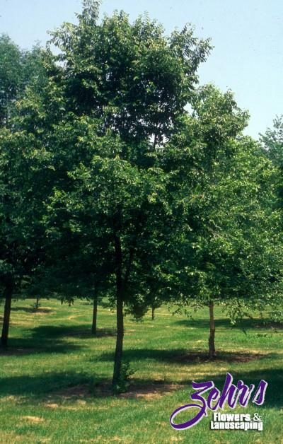 Landscaping Under Elm Trees : Frontier elm zehrs flowers and landscaping