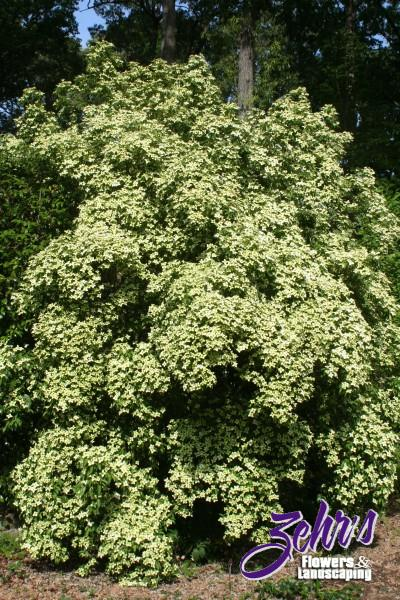 Empress of china chinese dogwood zehrs flowers and landscaping empress of china chinese dogwood botanical name cornus angustata sciox Image collections