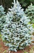 Zehr's Blue Spruce Tree Promotion